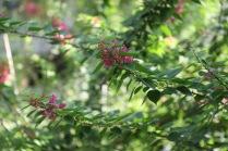 Garden - bougainvillea